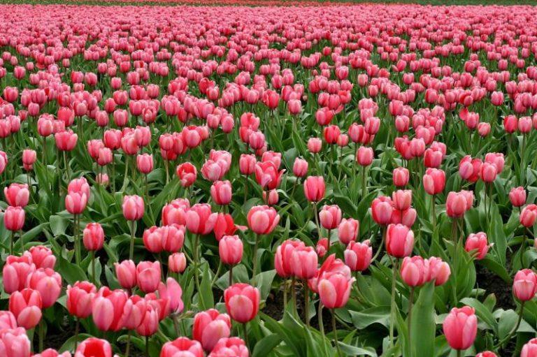 Quando piantare i tulipani